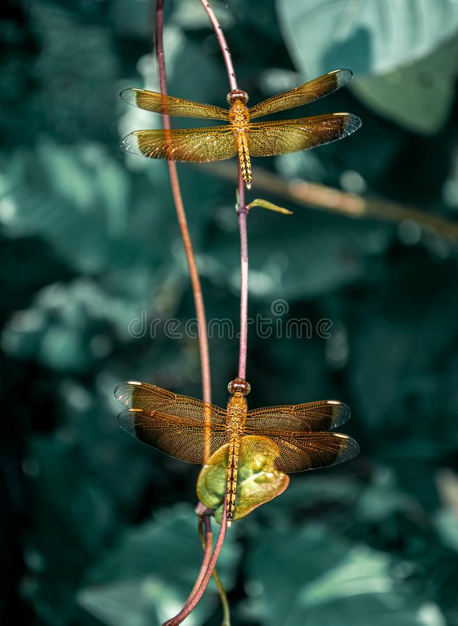 Orangefarbener Drachenfliege oder Flammenskimmer, der sich mitten im Narren auf der Perücke oder dem Baumzweig ruht lizenzfreie stockfotos