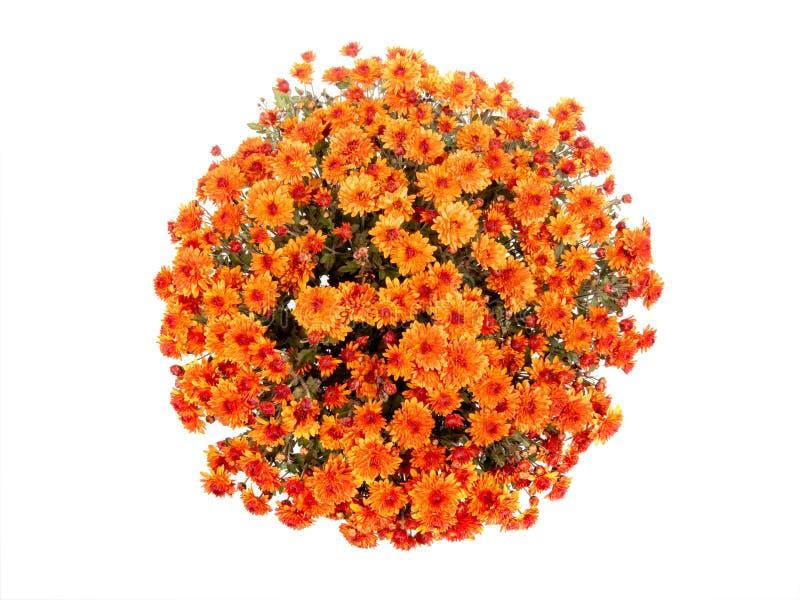 Orangefarbenes Chrysanthemum in Form einer Kugel, isoliert auf einem weißen lizenzfreies stockfoto