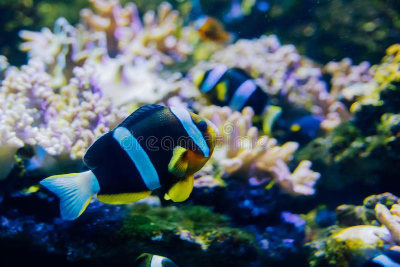 Orangefin Anemonefish royaltyfri fotografi