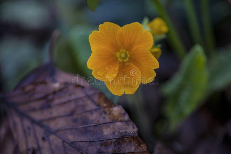 Orangegelbe Primel im Frühjahr stockbild