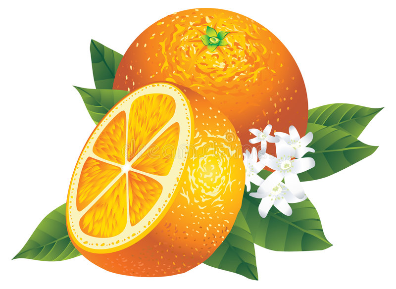 Orangen vektor abbildung
