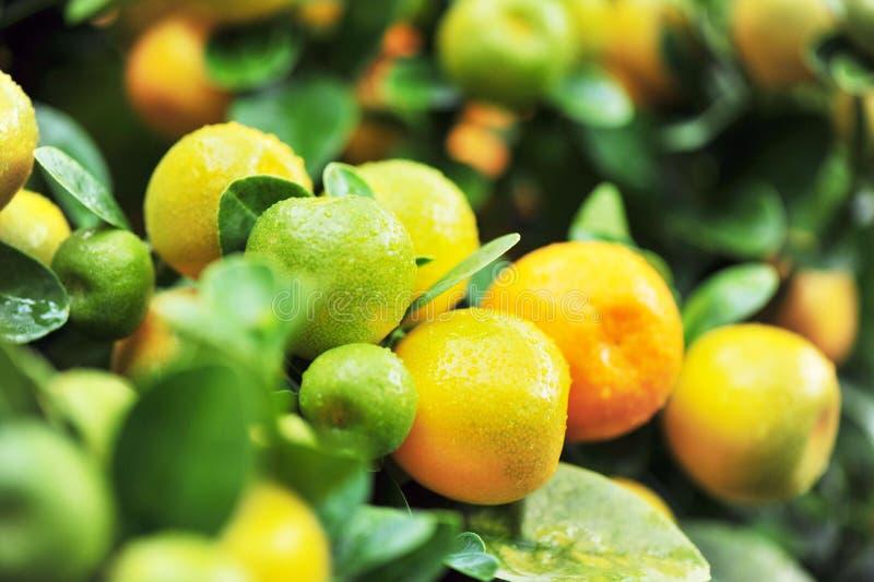 Orangen auf Baum lizenzfreies stockbild