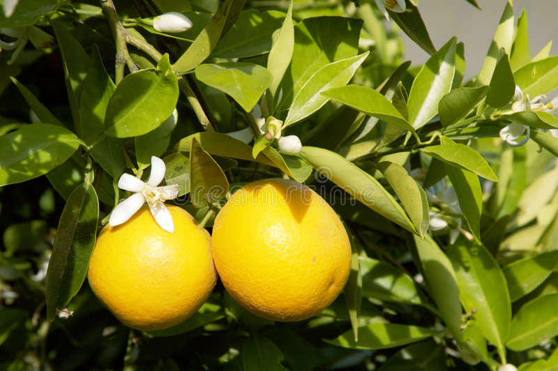 Orangen-Blüten 4 lizenzfreie stockfotos