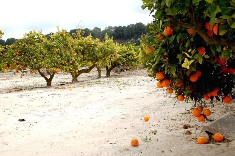 Orangen, die am Baum hängen und zu Boden fallen stockfotografie