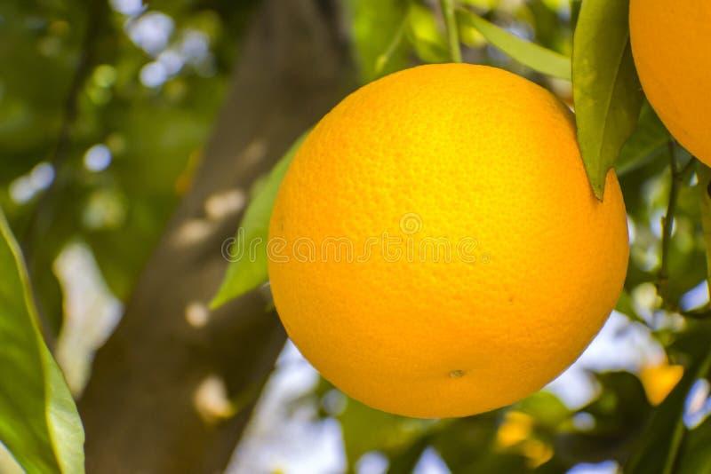 Orangen in Fallbrook stockfotografie