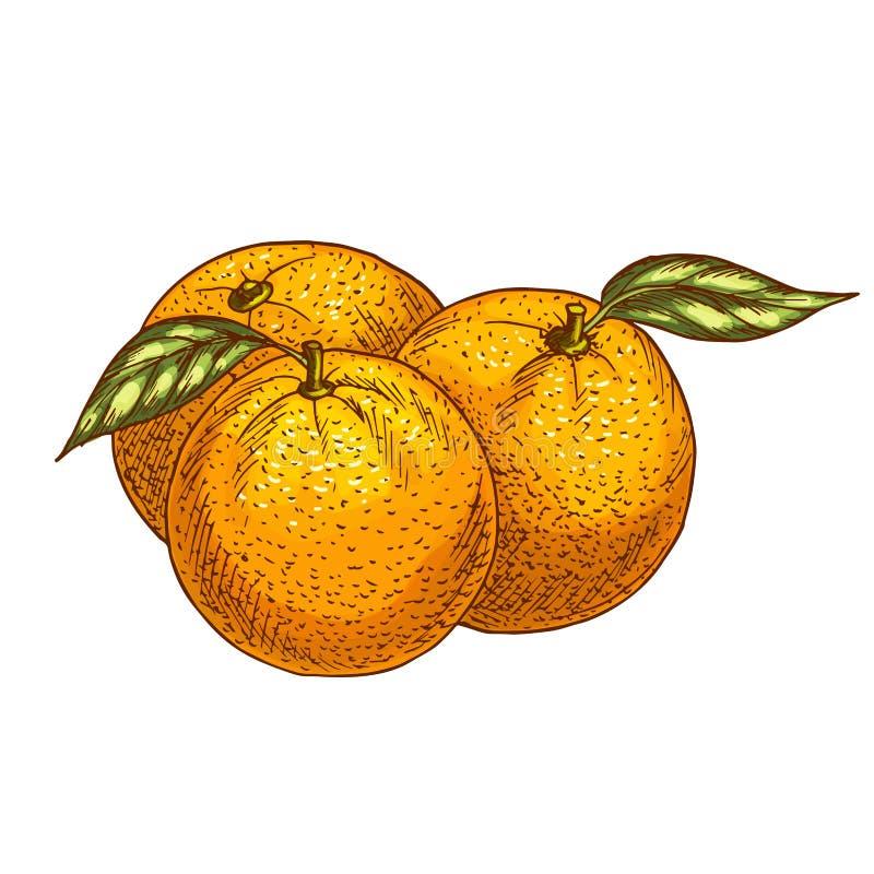 Orangen- oder Tangerinefruchtvektor-Skizzenikone vektor abbildung