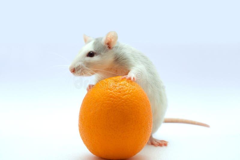 orangen tjaller arkivbild