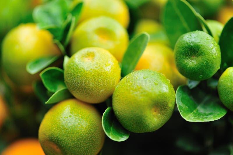 Orangen wachsen auf Baum stockfotos