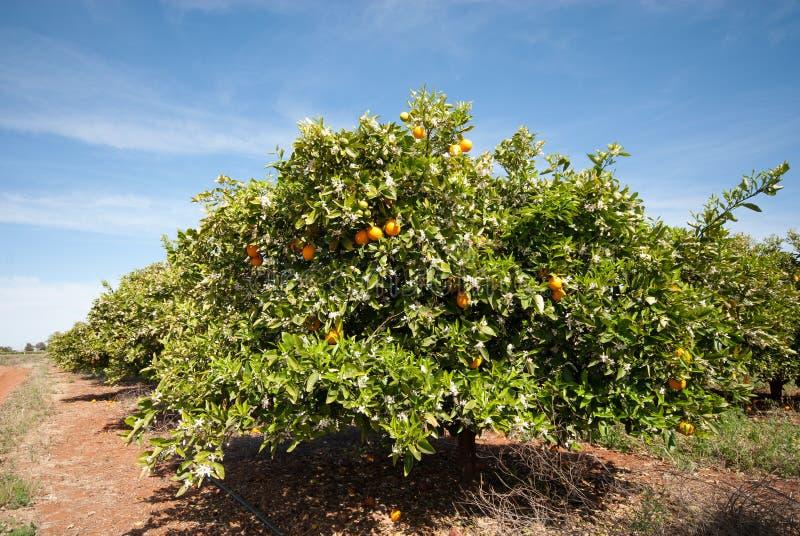 Orangenbäume stockbilder