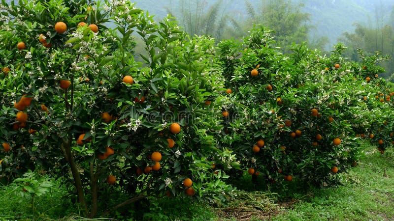 Orangenbäume stockfotografie