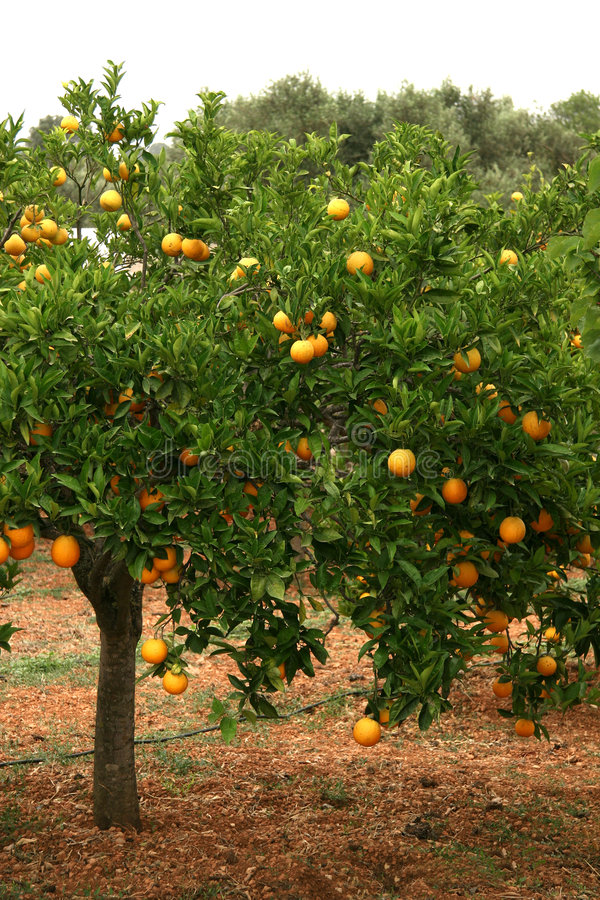 Orangenbaum stockfotografie