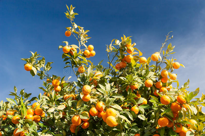 Orangenbaum - Citrus sinensis lizenzfreies stockfoto