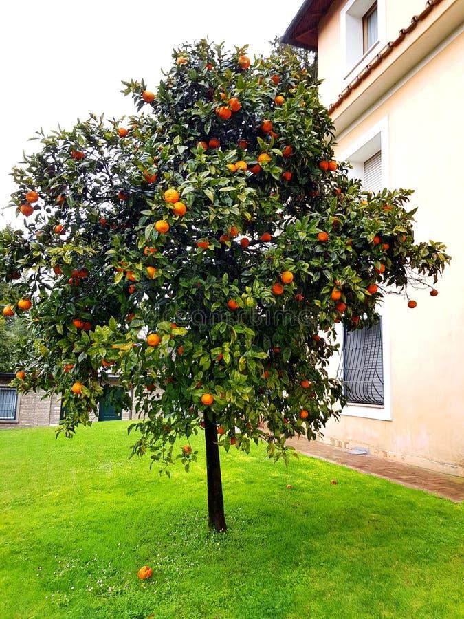 Orangenbaum im italienischen Hausgarten lizenzfreie stockbilder