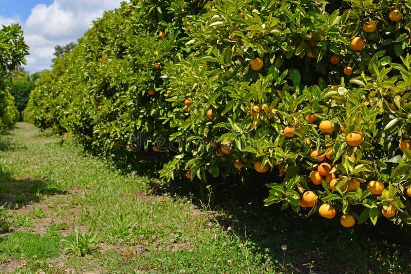 Orangenbaum-Obstgarten mit reifer Frucht stockfotos