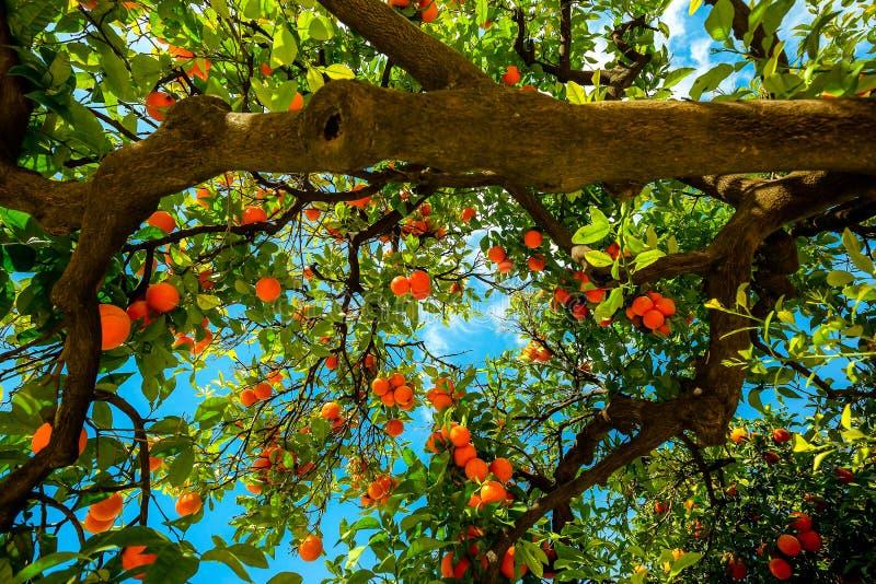 Orangenbaum in Sevilla Spanien lizenzfreies stockfoto