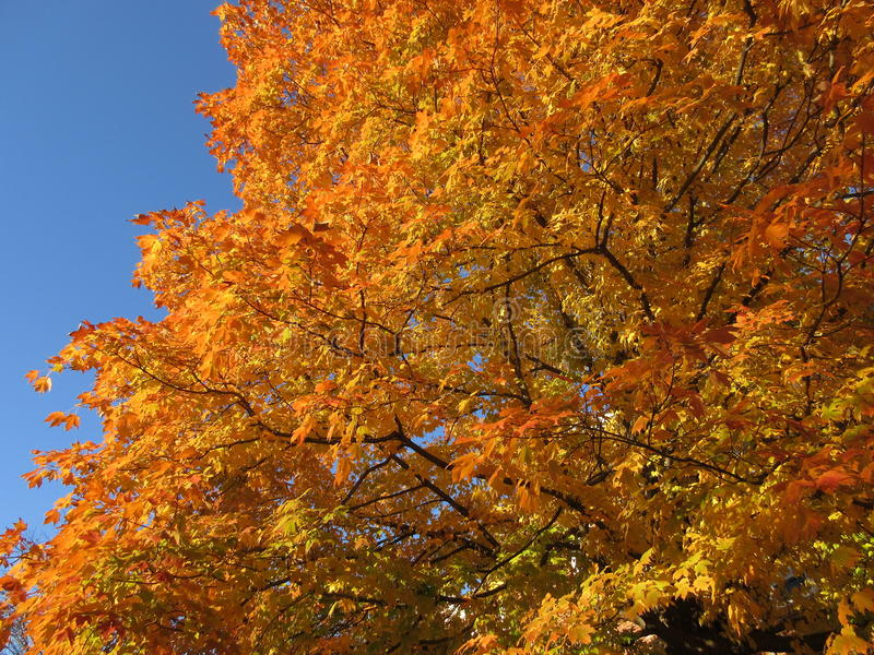 Orangenblätter und blauer Himmel stockbilder