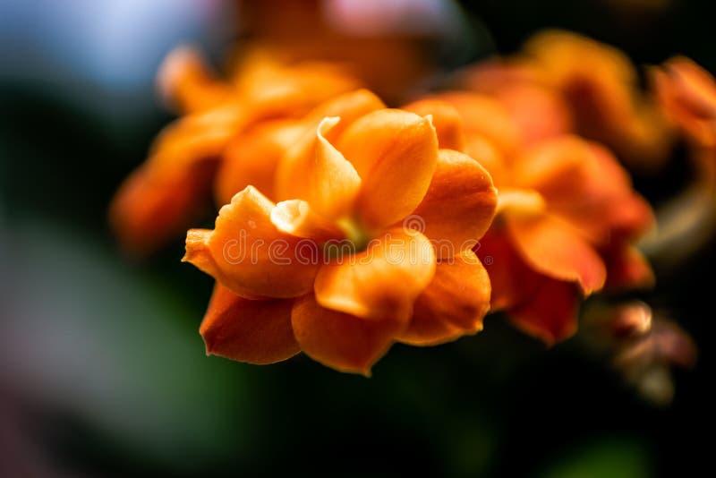 Orangenblume in der Nähe mit kleinen Blütenblättern stockfoto