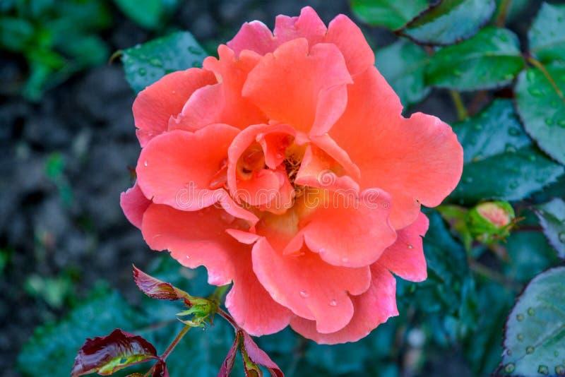 Orangenblume Nahaufnahme der Gartenblume mit flachem DOF stockfotos