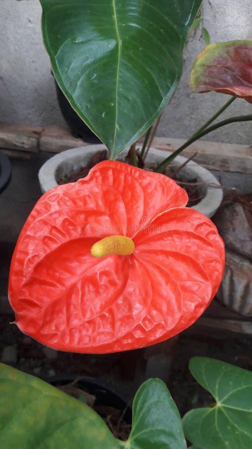 Orangenfarbe Schönheit zu Hause hinzufügen Potblume lizenzfreies stockfoto