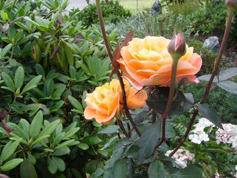 Orangenrose Seitenansicht lizenzfreies stockbild