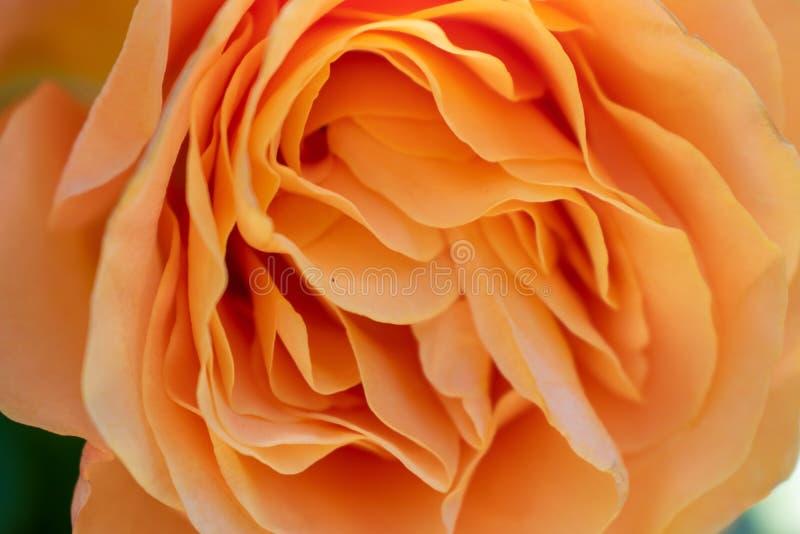 Orangenroseabschluß oben lizenzfreie stockfotografie