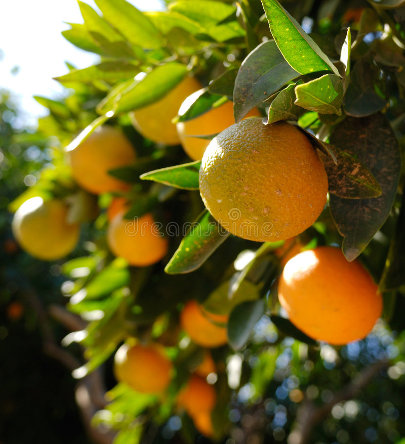 Free Oranges Royalty Free Stock Photography - 3920197