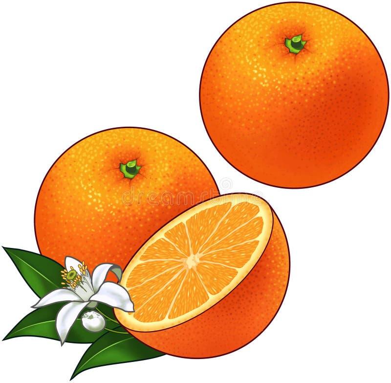Oranges illustration stock