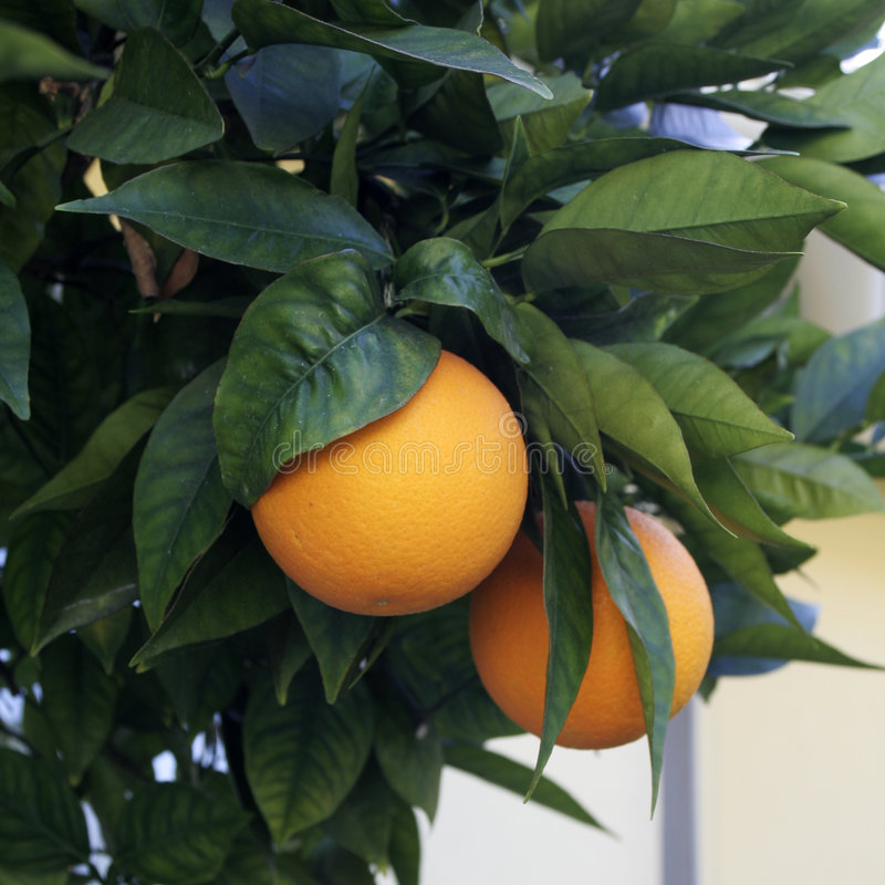 Download Oranges stock photo. Image of citrus, angeles, fruit, orange - 9120964