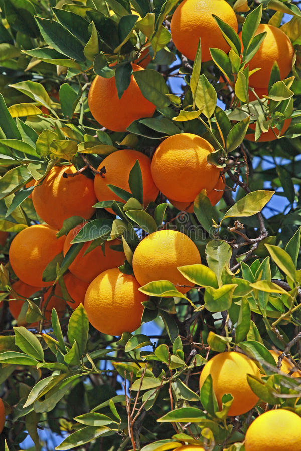 Oranges. Cluster Of Ripe Citrus Fruit Hanging On Tree royalty free stock image
