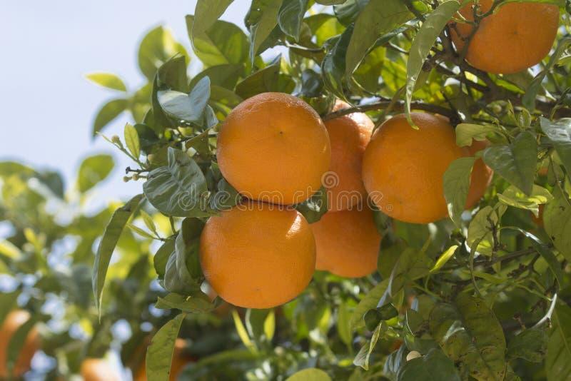 Oranges dans l'arbre au printemps photographie stock libre de droits