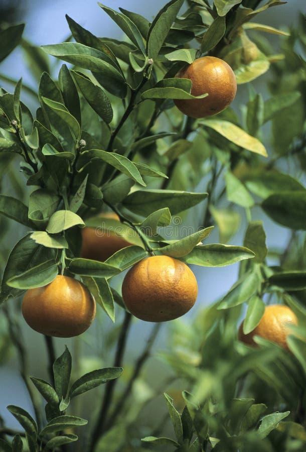 Oranges de la Floride photo stock