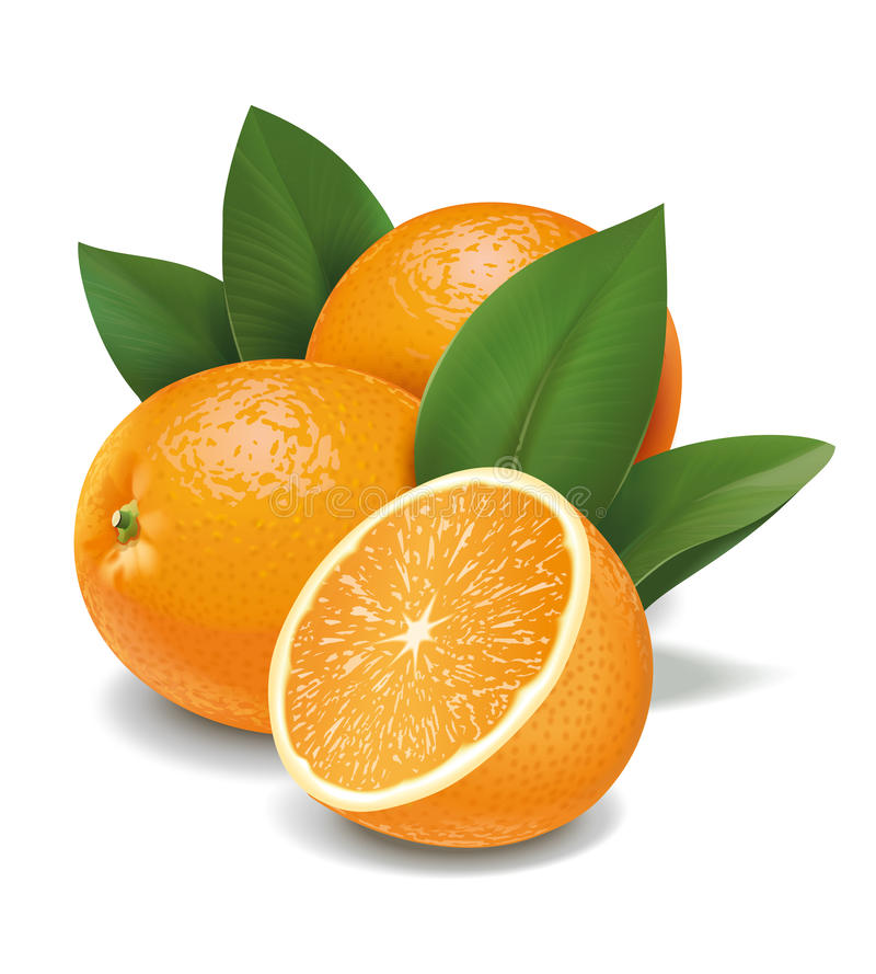 Oranges. Detailed vector illustration for other use vector illustration