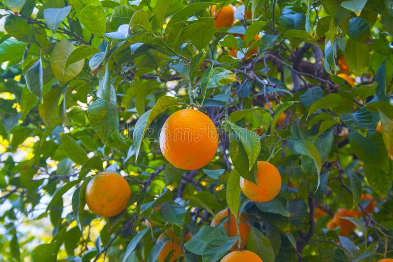 Oranges diverses sur un arbre image libre de droits