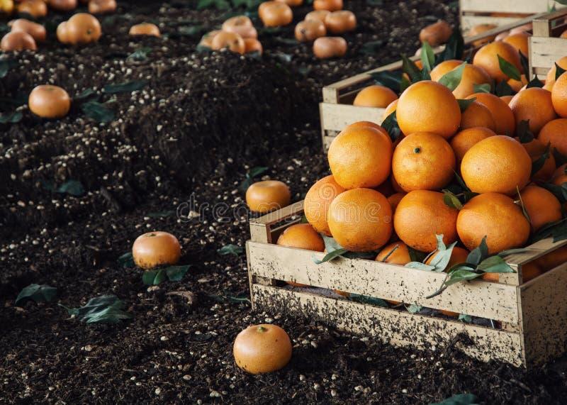 Oranges fraîches dans la boîte en bois photos stock