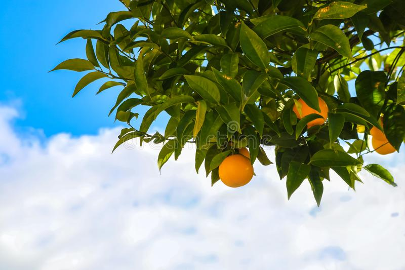Oranges growing on a tree in front of beautiful blue cloudy sky - close-up and room for copy.  stock photos