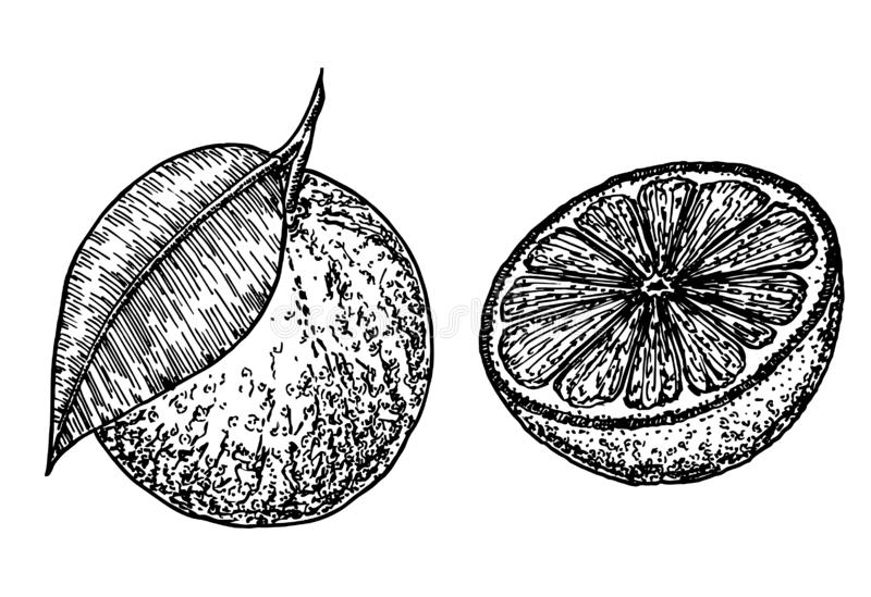 Oranges. hand drawn sketch food illustration. Vintage style. Set of illustrations with Orange in engraving style. Fruits in different parts and positions. Sweet royalty free stock photography