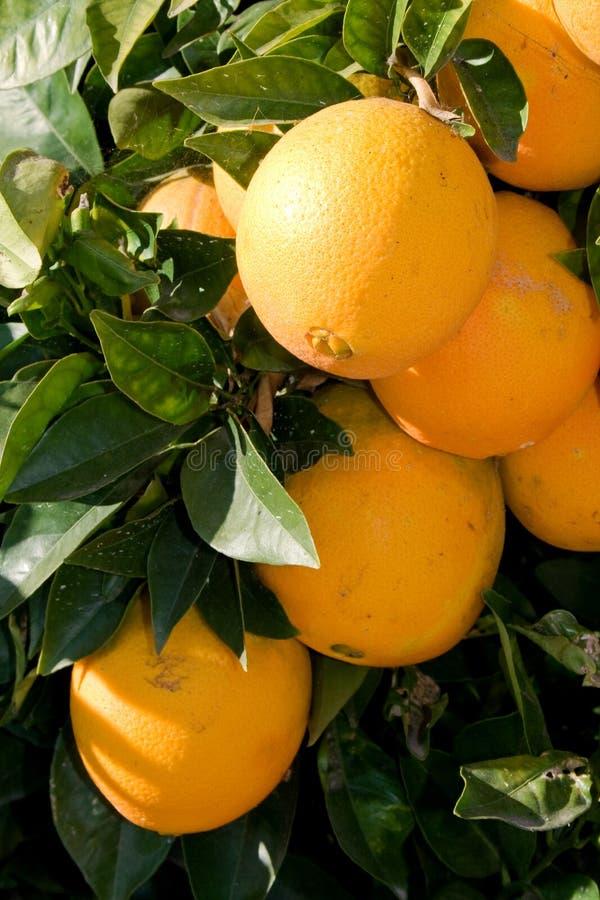 Oranges mûres photographie stock libre de droits
