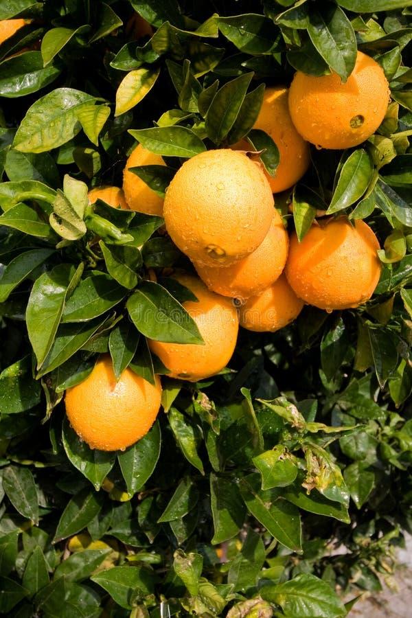 Oranges mûres photo stock