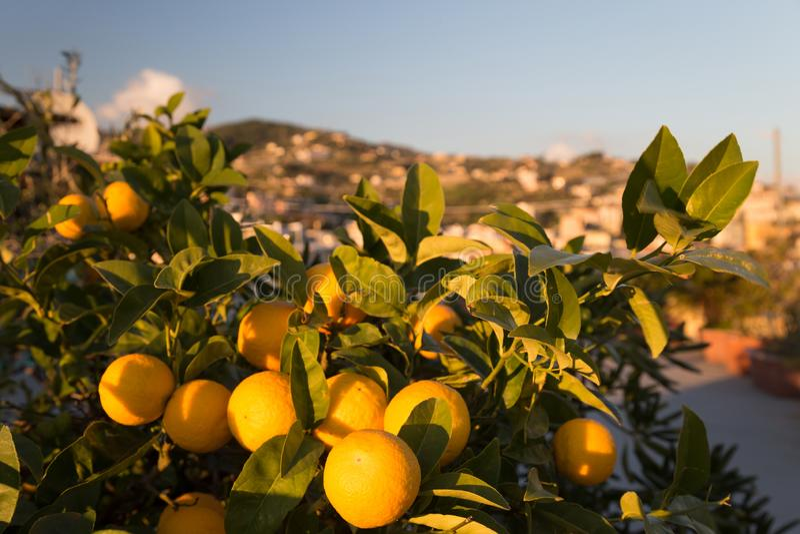 Oranges mûres sur un arbre photo libre de droits