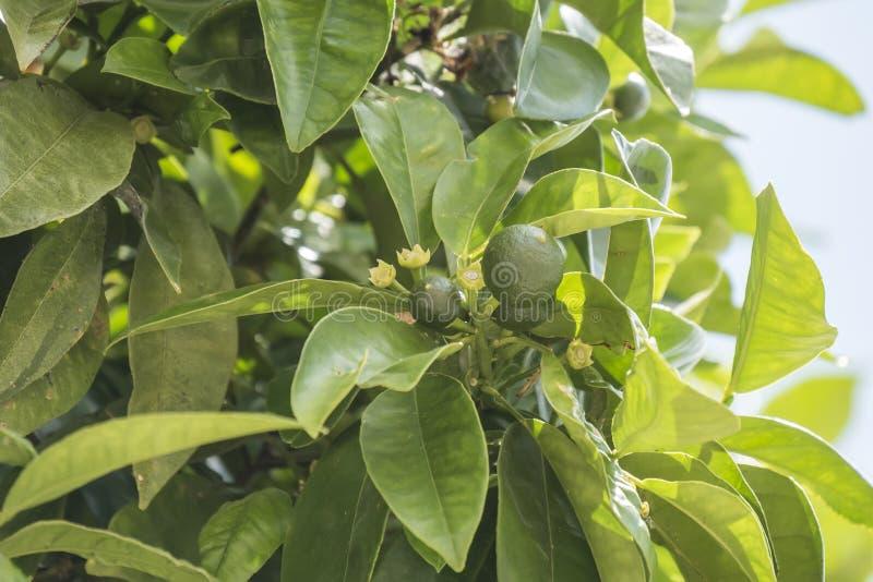 Oranges non mûres s'élevant sur l'arbre images libres de droits