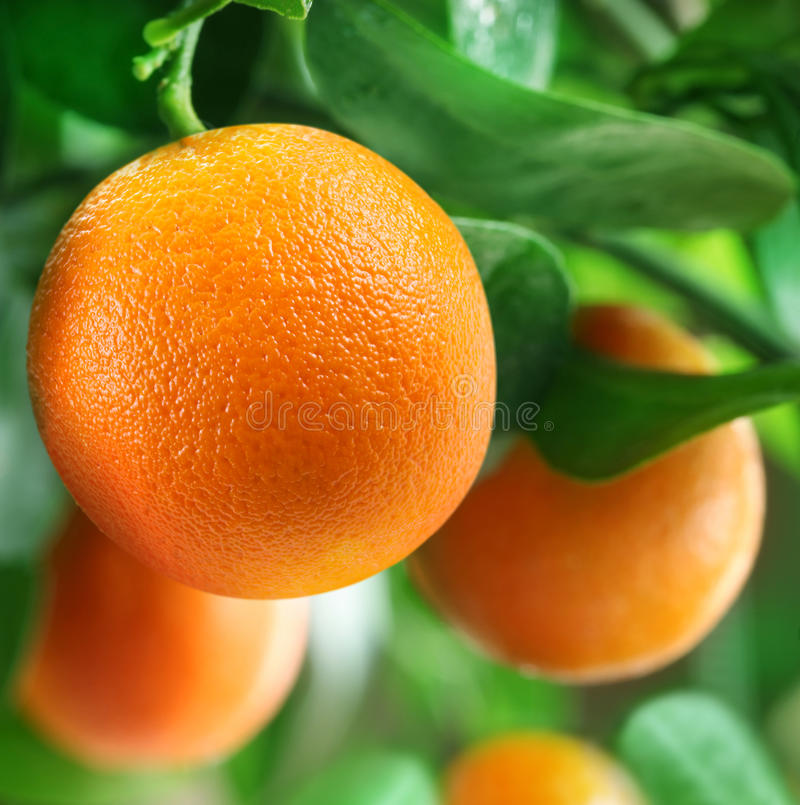 Free Oranges On A Citrus Tree. Royalty Free Stock Image - 29201446