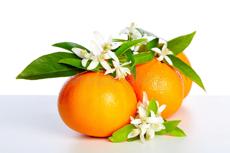 Oranges with orange blossom flowers on white. Oranges with orange blossom flowers in spring on white background stock image