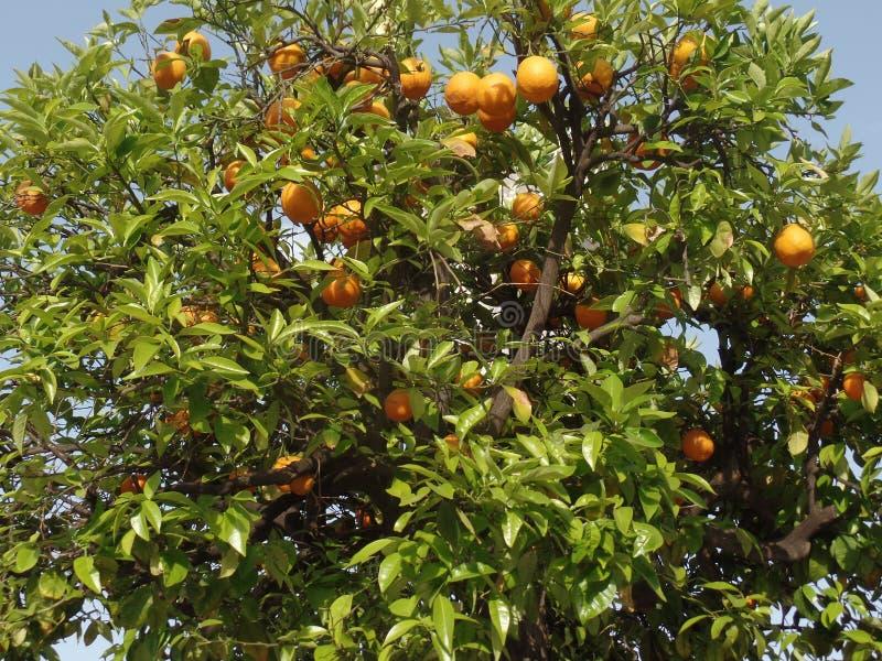 Oranges s'élevant dans un arbre image libre de droits