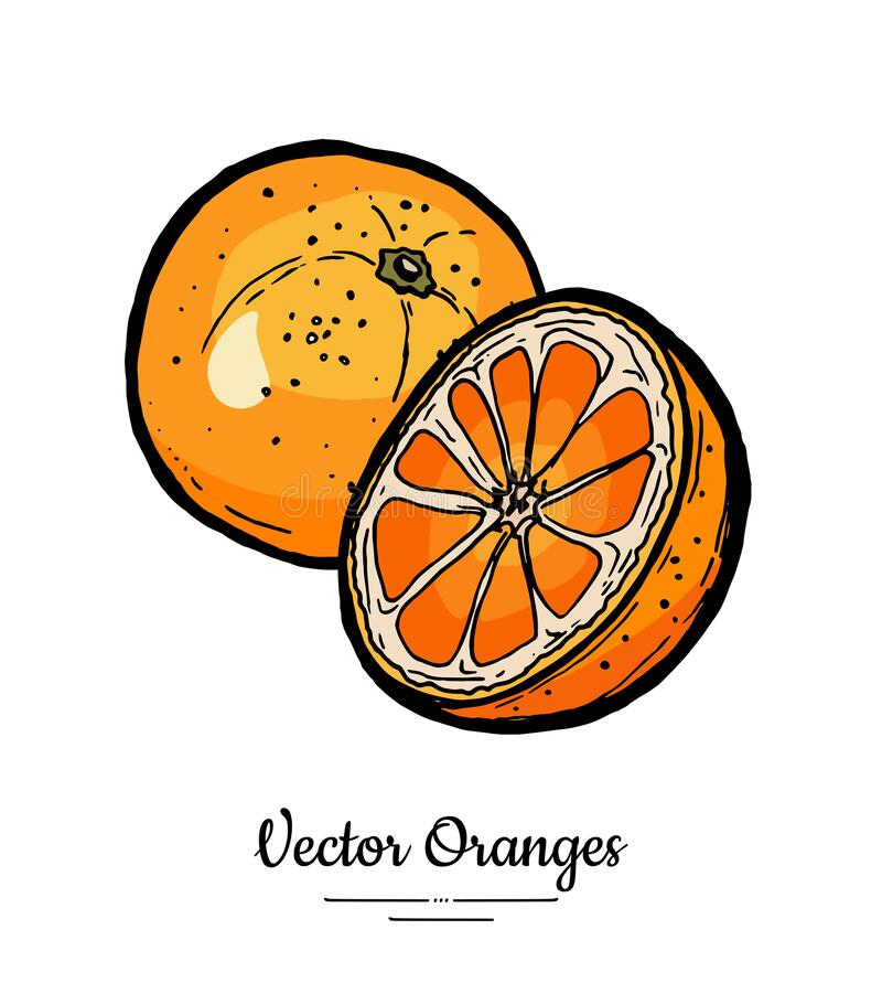 Oranges set vector isolated. Whole, half cut chopped orange, slices. Fruit hand drawn set. Citrus food vegetarian logo. Sketch ink style. Bright orange stock illustration