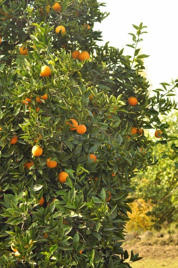 Oranges sur des arbres photos stock