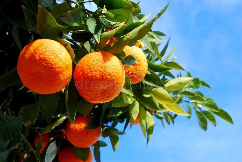 Oranges sur un arbre image libre de droits