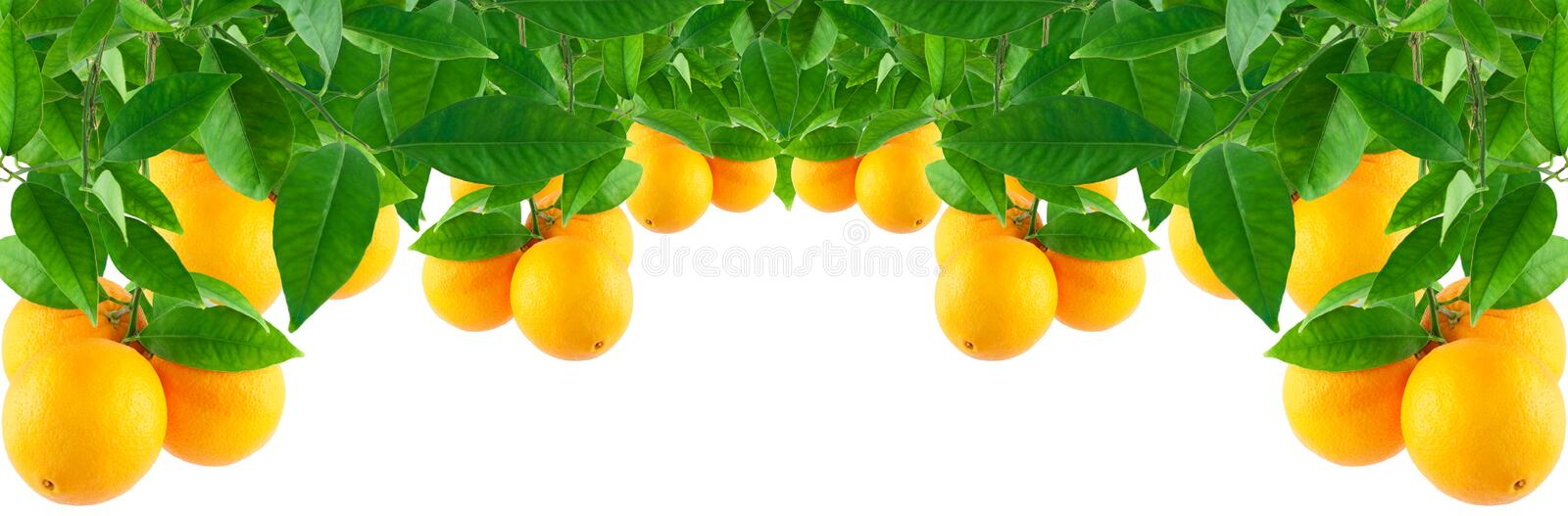 Download Oranges On A  Tree Stock Photo - Image: 19675790