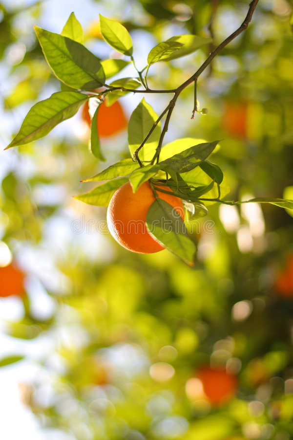Oranges on tree stock images
