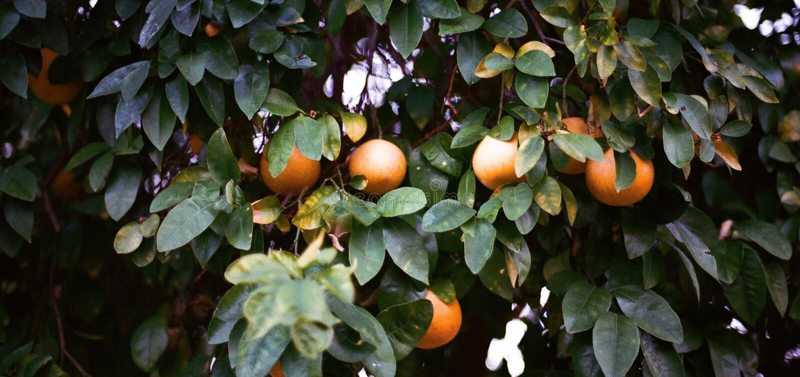 Oranges on tree royalty free stock photo