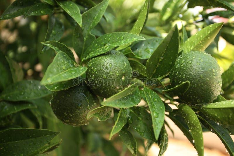 Oranges vertes photos libres de droits